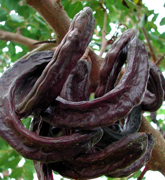 carobbaum