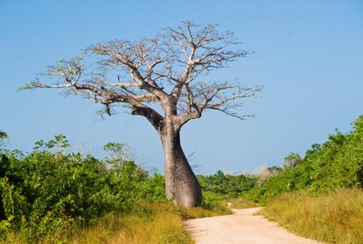 baobab-baum