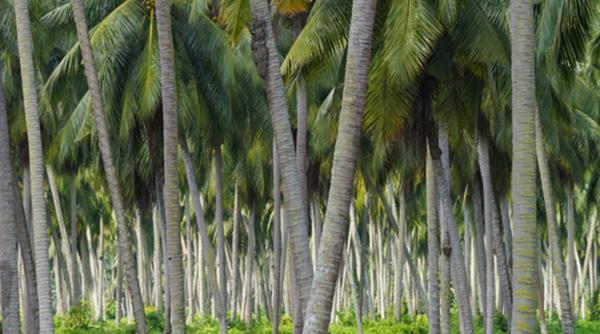 kokospalmen-1